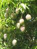 Mango Fertilizers
