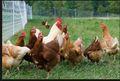 orgánica free range pollo