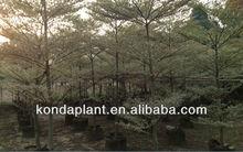 outdoor foliage plants.plant nursery.terminalia mantaly.plant and tree nursery