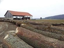 European Poplar logs and Lumber,sawn timber KD