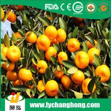 Fresh Chinese Nanfeng honey Baby Mandarin Orange from China Fruit Exporter