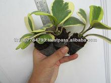 Hoya kerrii (small plants)