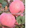 manzana fuji nombre científico de frutas frescas de color rojo de la venta caliente