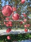 China crop fuji apple fruit wholesale price,kashmir apple