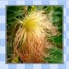 Natural corn silk extract powder 10:1,50:1,100:1