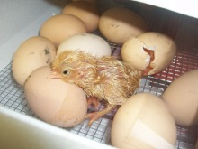 Fertile Hatching Chicken Eggs