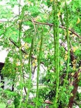 Moringa oleifera, M. pterygosperma (Drum Stick, Horseradish Tree)