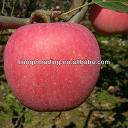 fresh apple exporter