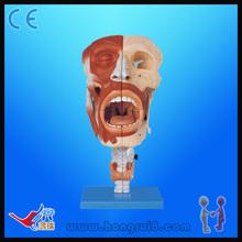 Anatómica de la cavidad Nasal modelo, Sistema respiratorio humano modelo
