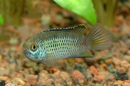 Dwarf Tropical Fish Tropical Fish Nanakara Dwarf