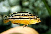 TROPICAL FISH YELLOW AURATUS CICHLID