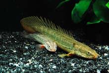 LAPRADITI BICHIR (Polypterus Lapraditi) 5 CM - RARE ANCIENT EXOTIC FISH