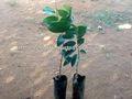 nuez moscada injertado plantas
