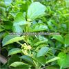 gymnema extract, gymnema extract 75%, gymnema sylvestre extract