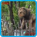 Zoo decoración estatua de la resina de tamaño natural modelo león