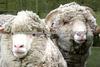 Lactating Ewe Feed