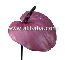 Anthurium cut flower and plant