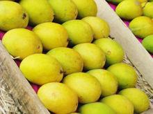 EU fit mangoes from Global Gap & HACCP certified farms
