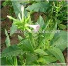 Tobacco leaf P.E.