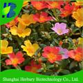 bel fiore Portulaca grandiflora semi per il paesaggio