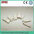 dental study model Permanent teeth with straight roots