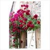 Rosa crimson glory climber (Rose Crimson Glory Climber)