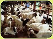 Lamb / Mutton