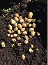 Fresh Potatoes Romania 0.34 euro 2014 poland