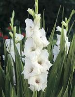 'White Prosperity' flower bulbs