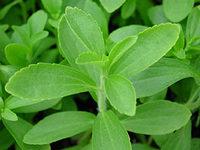 Stevia Powder, Extract