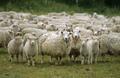 Awassi, Damara, Assaf, Tunisi, punti neri grasso di pecora dalla coda, bestiame, ovini caprini, boer capre(Capra ifoagroltd@gmail. Com)