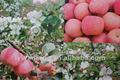 preços por atacado fresh crisp maçã fuji nome científico de frutas