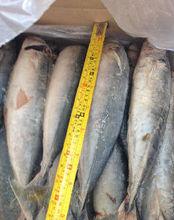 Best sell horse mackerel fish
