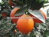 Hot sale fresh fruit Orange