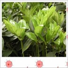 Factory supply Polygonatum odoratum Druce Extract powder