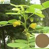 cassia seed extract/ whole semen cassiae torae extracto/cassia tora seeds
