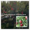 Fresh fuji apple fruit for import and export trading company