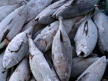 onboard frozen ( seafrozen) yellowfin and Skipjack Tuna