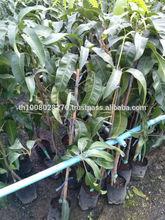 fruit plant (orange, jujube etc)