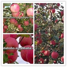 fresh red sugar sweet selected high quality fuji apple