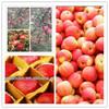 supplying bulk crispy fresh fuji and qinguan apple fruit from china