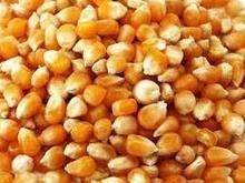 Maízamarillo, el maíz, el maíz amarillo