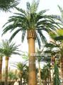 Árvore artificial / tronco de árvore artificial decoração / enorme canário data palmeira