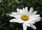 100% Natural Chamomile Extract(Apigenin1.2%/4:1,10:1)