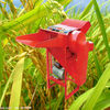 High efficiency wheat/rice thresher