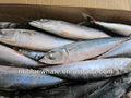 Nome científico de peixe carapau 100-200g 200-300g 300-500g