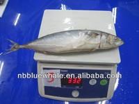 mackerel fresh fish scomber japonicus mackerel seafood
