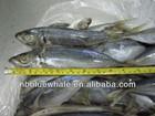 Horse Mackerel hot saleing overseas horse mackerel importers in africa