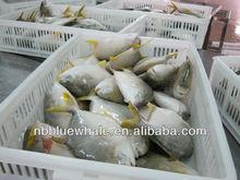 fresh frozen golden pomfret fish