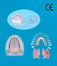 MIDDLE ANATOMICAL TONGUE MODEL WITH FULL MANENT ALL DISSECTIBLE AND PLASTIC BASE